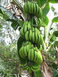 Bananas growing in Vietnam