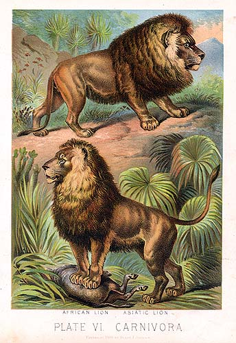 African (above) and Asiatic (below) lions, as illustrated in Johnsons Household Book of Nature, 1880