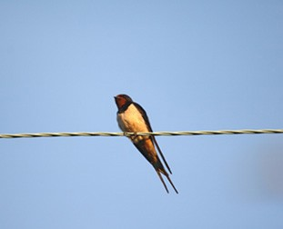 Young male Swallow by Chris Sperring