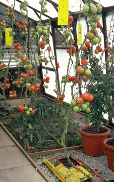 Tomatoes grown by hydroponics
