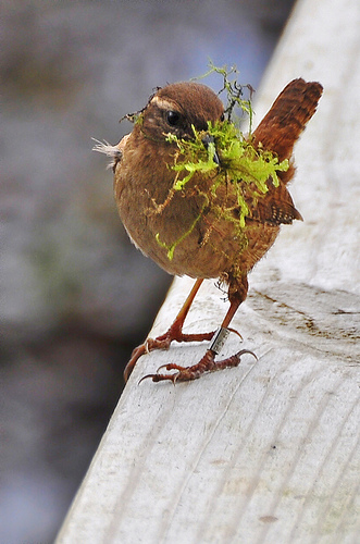 Wren with nest material by Chris Lonetraveller