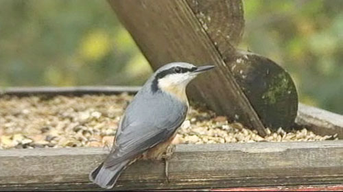 nuthatch on bird table