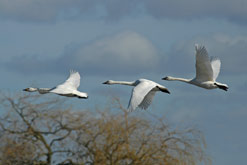 Bewick's Swans photograph courtesy of Paul Marshall