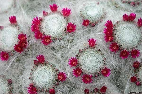 Bbc mundo festival de flores de chelsea for Variedades de cactus