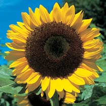 Helianthus 'Giant Single'
