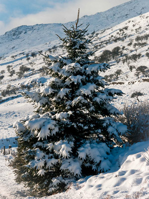 Christmas Tree at Llynnau Mymbyr by Peter.