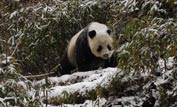 A panda walking through the snowy bamboo forest ©Gavin Maxwell