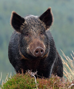 BBC - Nature UK: The big debate: Wild boars in the Forest ... Giant Wild Boar Photos