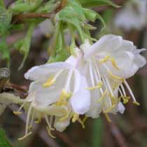 Lonicera purpusii 'Winter Beauty'