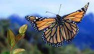 Monarch Butterfly by Nature Picture Library