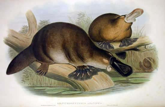 John Gould print image of the platypus,1863