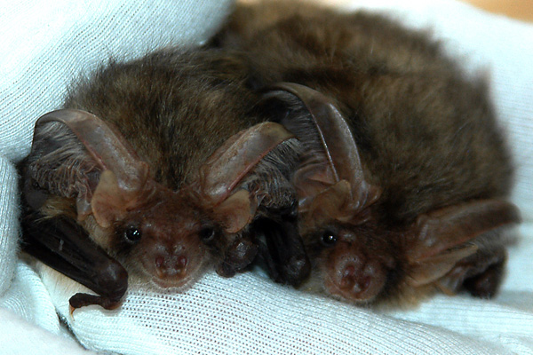 Long-eared bats at the BBC Springwatch Wild Days Out