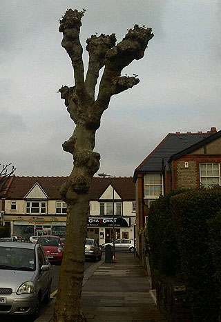 A recently cut tree in North London