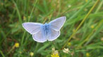 Common blue by Morfa madryn