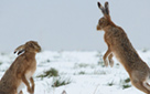 Winter Hares (click to enlarge)