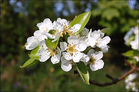 Pear blossom at Rocombe, East Devon