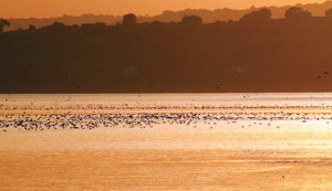 Flock of waders flying above River Severn in Slimbridge at sunset