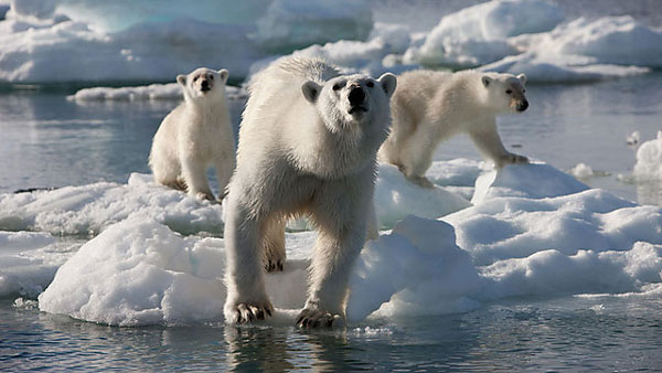 A photo of Polar Bears from Frozen Planet