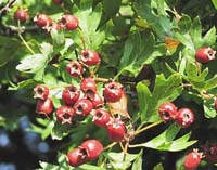 hawthorn fruits Photo: WTPL/Peter Paice from Belfast.