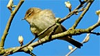 Chiffchaff. Photo: Paul Meldrew