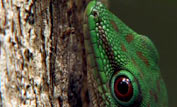 day gecko in a tree