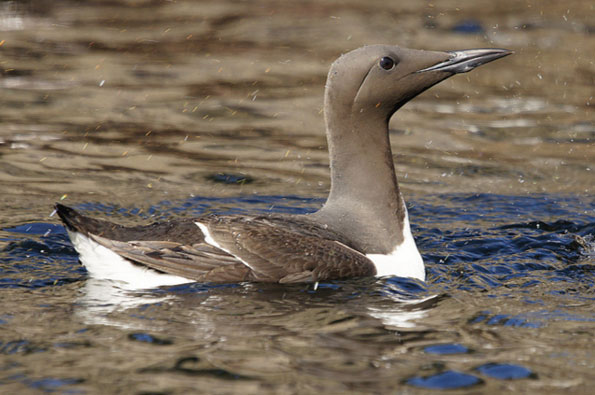 Guillemot by Tim Phillips