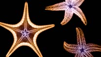 Three starfish