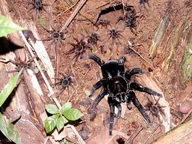 Tarantula with spiderlings