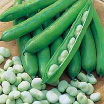 Broad bean 'Optica'.  Image supplied by Dobies