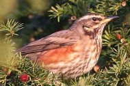 an image of a redwing, copyright owned by Blueskybirds.co.uk.