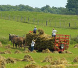 Amish men harvesting hay with hand tools and a red horse-drawn wagon
