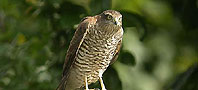 Sparrowhawk, copyright owned by Blueskybirds.co.uk.