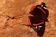 Butterfly on red rock symbolising life on Mars