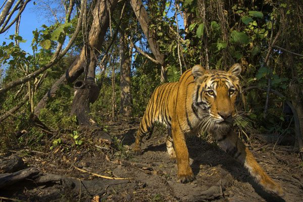 A tiger caught on camera in the Himalayas