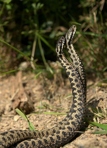 Adders Dancing © Matt Binstead