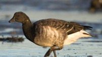 Light-bellied Brent Goose by Richard Taylor-Jones
