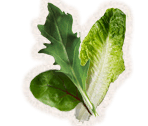 Salad Leaves (Mixed leaves)