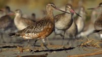 Alaskan Bar-tailed Godwit from the Nature Picture Library