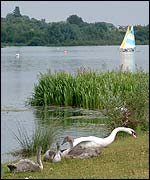 Picture: Mute swansand  signets on the edge of Whitlingham Great Broad
