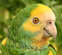 Image of a Yellow-Shouldered Amazon parrot