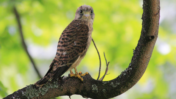 Cameron Livingstone captured this young kestrel near his home in the Ochil hills.