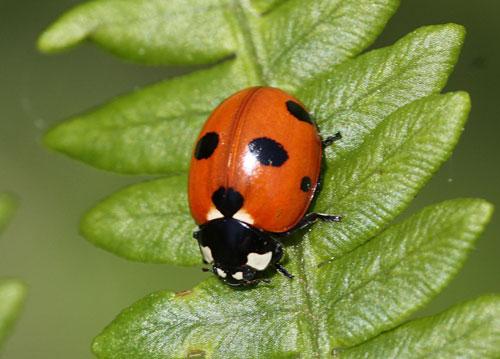 ladybirds - photo #22