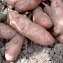 Potato 'Pink Fir'