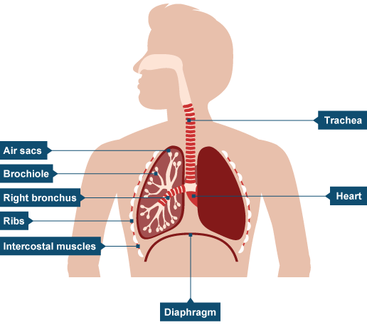 Lungs diagram gcse introduction to electrical wiring diagrams bbc intermediate 2 bitesize biology circulation and gas exchange rh bbc co uk lung cancer diagram heart diagram ccuart Choice Image