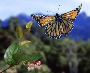 Monarch Butterfly from the Nature Picture Library
