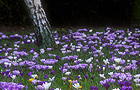 Naturalised crocus