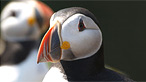 Puffins on Skomer by Jon Hailsham