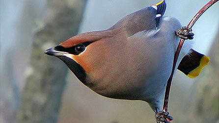 A 2010 waxwing visitor to Wales taken by Mike Warburton
