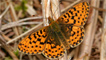 Pearl bordered fritillary by Peter Eeles