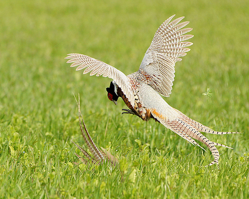 fighting pheasants by mikas uncle